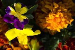 Flores amarelas e roxas Fotografia de Stock