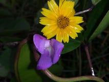 Flores amarelas e roxas Fotografia de Stock Royalty Free