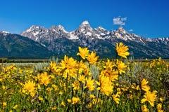 Flores amarelas e Tetons Foto de Stock Royalty Free