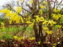 Flores amarelas em Bélgica no fim do tempo de mola Fotos de Stock Royalty Free