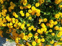 Flores amarelas em Líbano imagem de stock royalty free