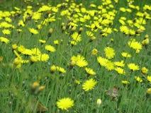 Flores amarelas em prados verdes Fotos de Stock