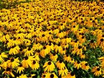 Flores amarelas em um jardim na flor completa foto de stock royalty free