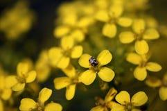 Flores amarelas em um prado com um besouro fotografia de stock