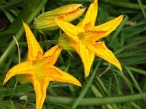 Flores amarelas estrela-dadas forma Fotos de Stock Royalty Free