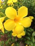 Flores amarelas frescas Foto de Stock Royalty Free