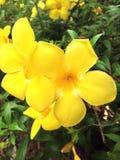 Flores amarelas frescas Fotografia de Stock