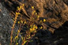 Flores amarelas Goldenrod ocidentais dos occidentalis de Euthamia com as rochas no fundo no por do sol em San Juan Islands Foto de Stock Royalty Free