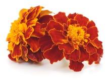 Flores amarelas isoladas Imagem de Stock Royalty Free