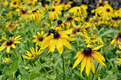 Flores amarelas na cama de flor no verão Foto de Stock