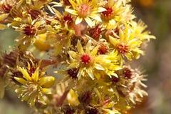 Flores amarelas na flor Fotografia de Stock