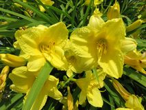 Flores amarelas na flor completa na mola em junho fotos de stock