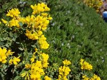 Flores amarelas na mola Fotografia de Stock Royalty Free