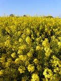 Flores amarelas na mola Imagens de Stock Royalty Free