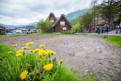 Flores amarelas na vila japonesa histórica com fundo do turista - Shirakawago na mola, marco do curso de Japão Fotografia de Stock