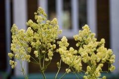 Flores amarelas nas casas de campo do fundo Foto de Stock