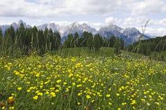 Flores amarelas nas dolomites Fotografia de Stock Royalty Free