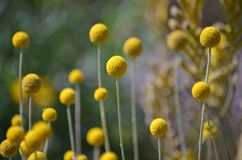 Flores amarelas nativas australianas de Billy Button fotos de stock royalty free