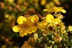 Flores amarelas no arbusto do potentilla Imagens de Stock Royalty Free