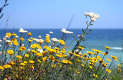 Flores amarelas no beira-mar Foto de Stock