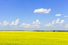 Flores amarelas no campo com céu azul e nuvens Fotografia de Stock Royalty Free