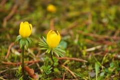 Flores amarelas no começo da mola Fotos de Stock Royalty Free