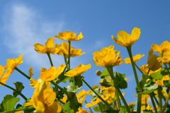 Flores amarelas no fundo do céu azul Fotos de Stock