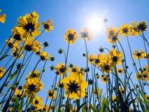 Flores amarelas no fundo do céu azul. fotografia de stock