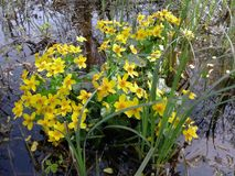 Flores amarelas no pântano foto de stock