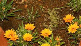 Flores amarelas no parque chettiar do monte do kodaikanal foto de stock royalty free