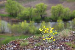 Flores amarelas no penhasco Fotos de Stock Royalty Free