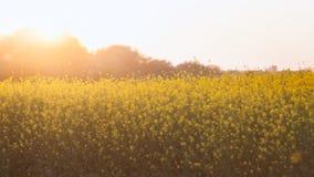 Flores amarelas orgânicas bonitas da mostarda no campo, foto de stock