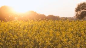 Flores amarelas orgânicas bonitas da mostarda no campo, fotografia de stock