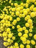 Flores amarelas: Os botões amargos do Tansy comum, acobardam botões amargos, ou dourados com fundo borrado Imagem de Stock