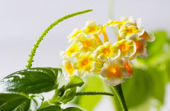 Flores amarelas pequenas Foto de Stock Royalty Free