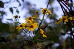 Flores amarelas pequenas Fotografia de Stock Royalty Free