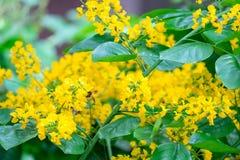 Flores amarelas pequenas de um ramalhete das flores e das abelhas na árvore Fotos de Stock