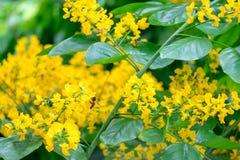 Flores amarelas pequenas de um ramalhete das flores e das abelhas na árvore Fotografia de Stock Royalty Free