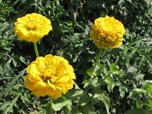 Flores amarelas pequenas do zinnia Foto de Stock