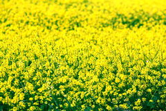 Flores amarelas pequenas em um campo Fotos de Stock Royalty Free