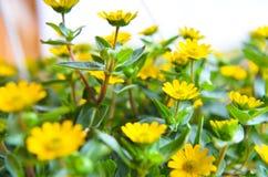 Flores amarelas pequenas no fundo de madeira Fotos de Stock Royalty Free