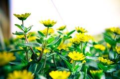 Flores amarelas pequenas no fundo de madeira Imagens de Stock