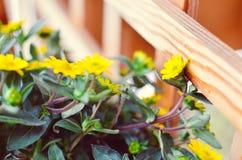 Flores amarelas pequenas no fundo de madeira Imagem de Stock