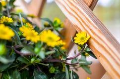 Flores amarelas pequenas no fundo de madeira Foto de Stock