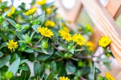 Flores amarelas pequenas no fundo de madeira Foto de Stock Royalty Free