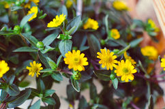 Flores amarelas pequenas no fundo de madeira Fotografia de Stock Royalty Free