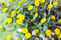 Flores amarelas pequenas no fundo de madeira Fotografia de Stock