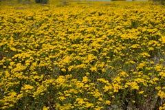 Flores amarelas que cobrem a costa oeste de África do Sul Fotografia de Stock