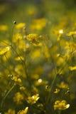 Flores amarelas que florescem na luz do sol com fundo verde Fotos de Stock Royalty Free