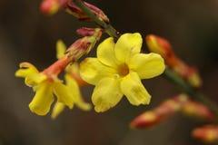 Flores amarelas que florescem na mola fotografia de stock royalty free